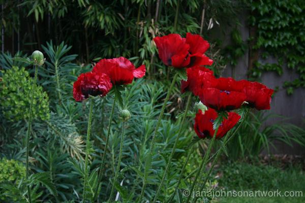 Poppy © Jana R. Johnson  2014May10--IMG_4833